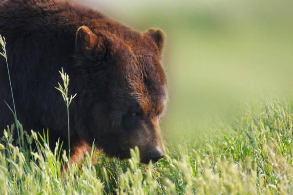 Big Bear Photograph - Mr Black Bear by Art Spectrum