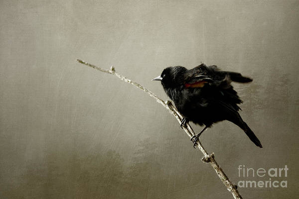 Photograph - Mr Blackbird by Beve Brown-Clark Photography