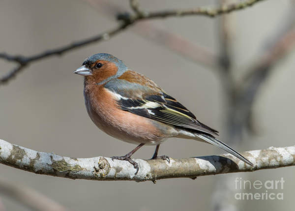 Photograph - Mr Chaffinch by Torbjorn Swenelius