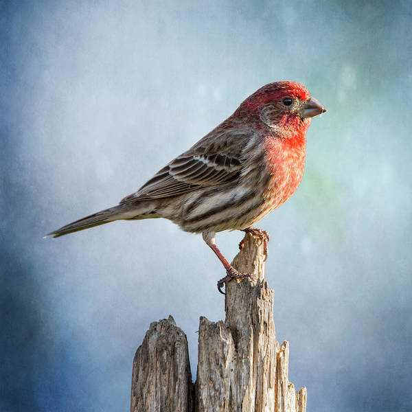 Wall Art - Photograph - Mr House Finch Perched On Blues by Bill Tiepelman