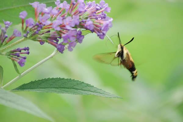 Photograph - Mr. Hummingbird Moth by Lori Tambakis