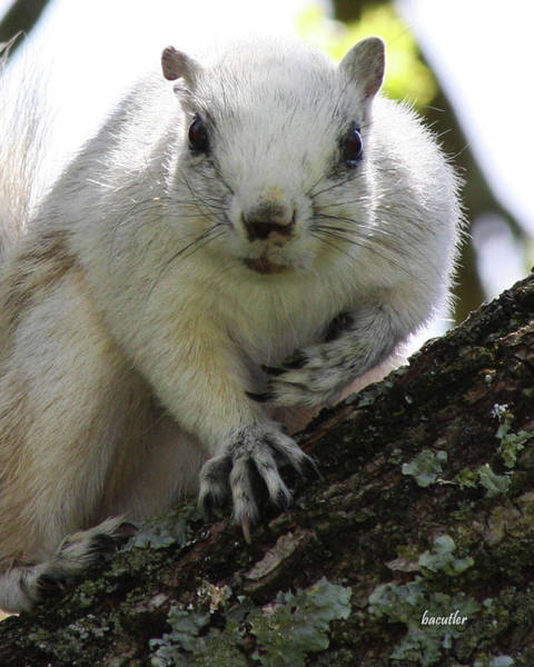 Grey Squirrel Photograph - Mr. Inquisitive I  by Betsy Knapp