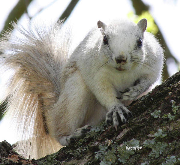 Grey Squirrel Photograph - Mr. Inquisitive II by Betsy Knapp