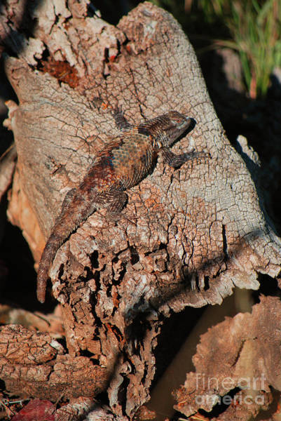 Photograph - Mr. Lizard - Tucson Arizona by Donna Greene