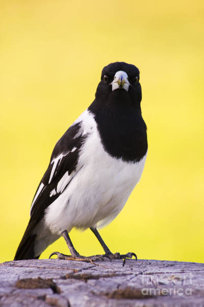 Farmyard Photograph - Mr. Magpie by Jorgo Photography - Wall Art Gallery