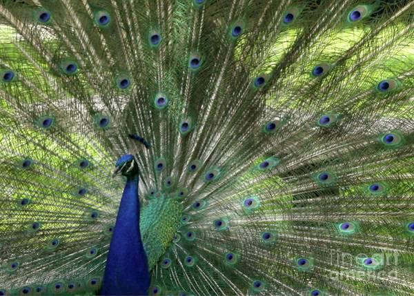 Photograph - Mr. Peacock by Sabrina L Ryan