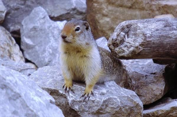Marmot Photograph - Mr Perky by Jeff Swan