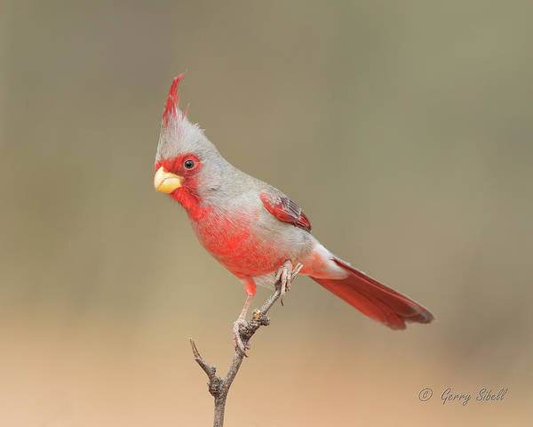 Photograph - Mr Phyrrhuloxia by Gerry Sibell
