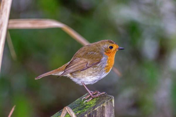 Twitcher Wall Art - Photograph - Mr. Robin. by Angela Aird