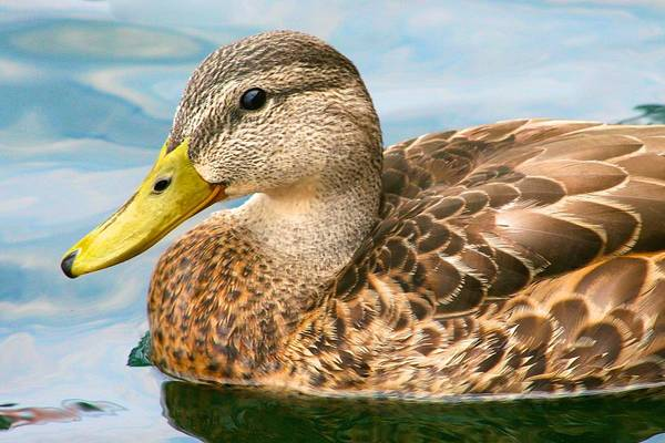 Photograph - Mrs. Duck by Polly Castor