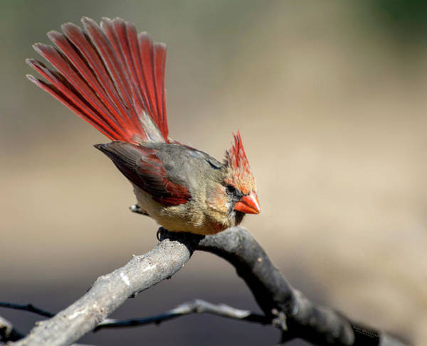 Photograph - Ms Northern Cardinal Showing Off Her Tail by Judi Dressler