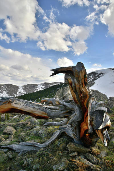 Photograph - Mt. Evans Bristlecone Pine by Ray Mathis