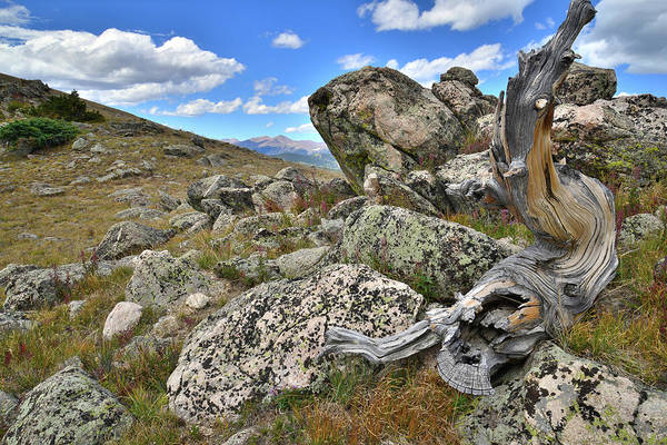 Photograph - Mt. Evans Road Bristlecone by Ray Mathis