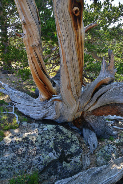 Photograph - Mt. Goliath Natural Area Bristlecone by Ray Mathis