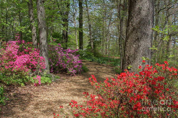 Photograph - Mt Hamilton Azaleas 4 by Chris Scroggins