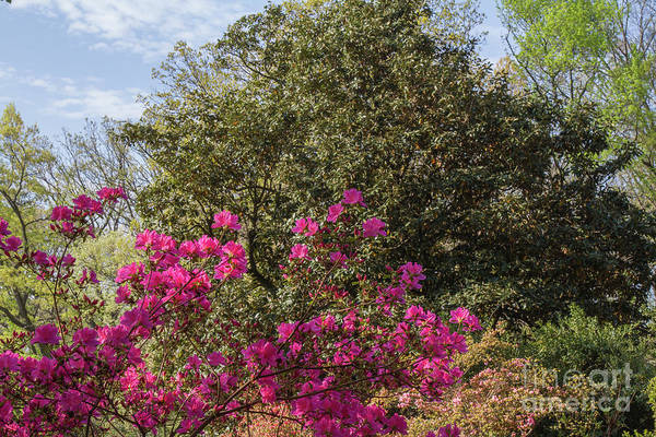 Photograph - Mt Hamilton Azaleas 5 by Chris Scroggins