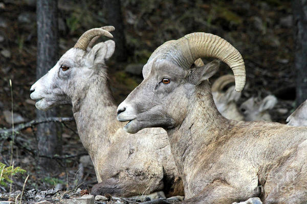 Mt Sheep  Art Print