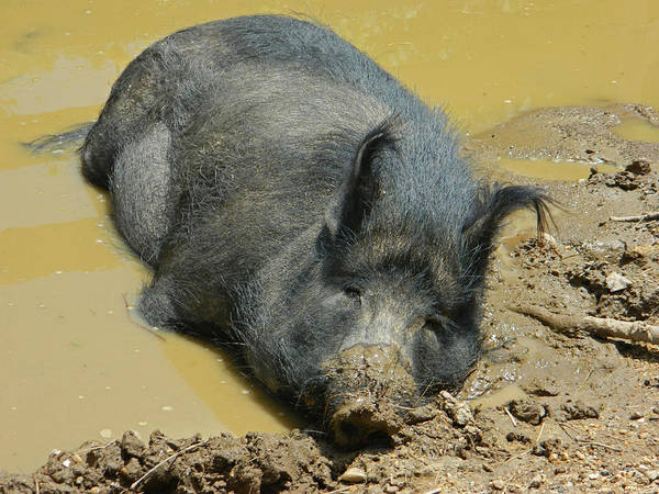 Petting Zoo Photograph - Mud Spa by Emmy Vickers