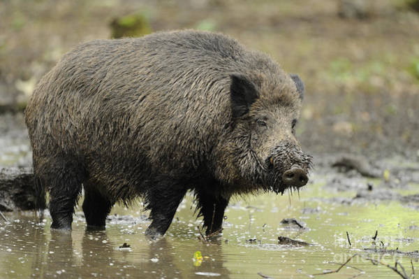 Photograph - Muddy Boar In Puddle by David & Micha Sheldon