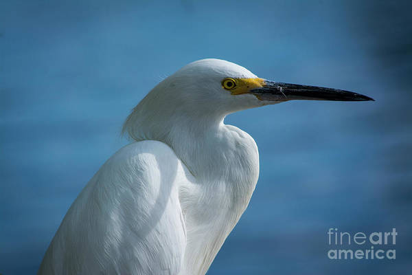 Egret Photograph - Mug Shot by Quinn Sedam