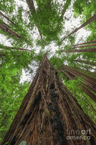 Photograph - Muir Woods  by Michael Ver Sprill