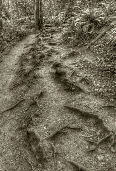 Photograph - Muir Woods Path by Michael Kirk