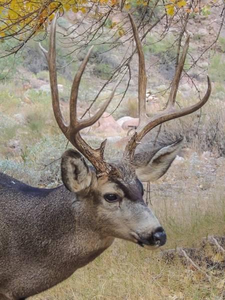 Photograph - Mule Deer Buck by NaturesPix