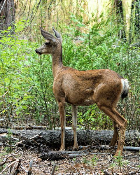 Photograph - Mule Deer Doe - Yosemite by Kristia Adams