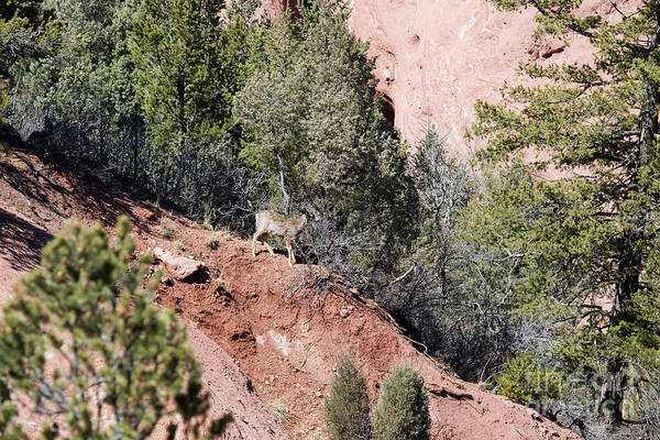 Photograph - Mule Deer In Red Rock Canyon by Steve Krull