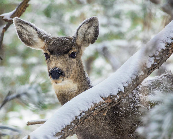 Wall Art - Photograph - Mule Deer In Snow 1 by Dawn Key