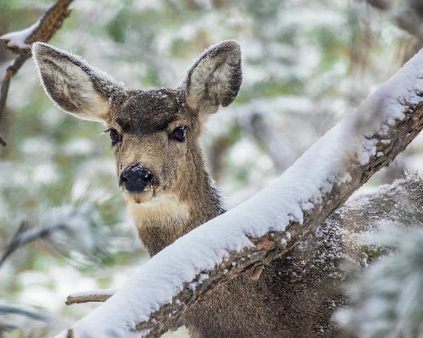 Photograph - Mule Deer In Snow 1 by Dawn Key