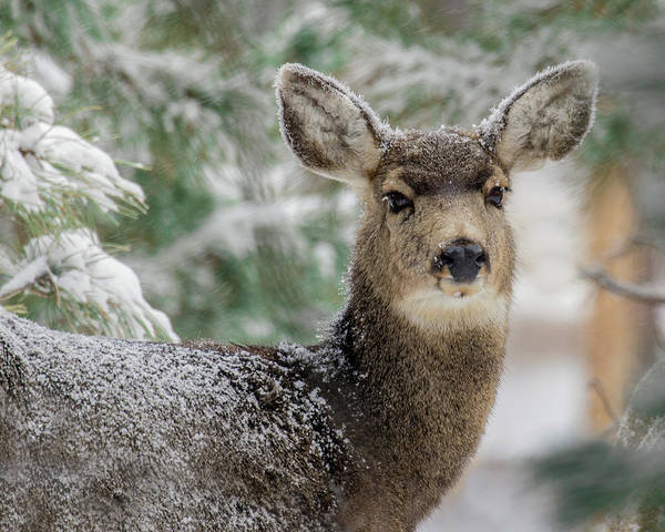 Wall Art - Photograph - Mule Deer In Snow 2 by Dawn Key