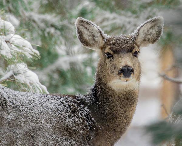 Photograph - Mule Deer In Snow 2 by Dawn Key