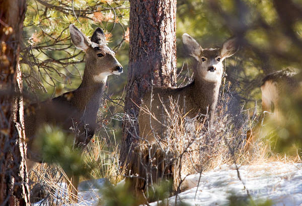 Photograph - Mule Deer In The Pike National Forest In Winter by Steve Krull