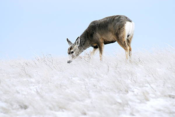 Photograph - Mule Deer In The Snow by Larry Ricker