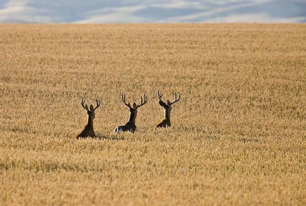 Wall Art - Photograph - Mule Deer In Wheat Field by Mark Duffy