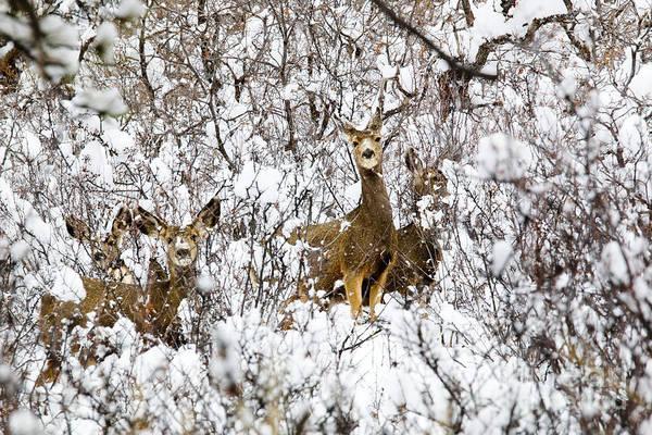 Photograph - Mule Deer In Winter Snowstorm by Steve Krull
