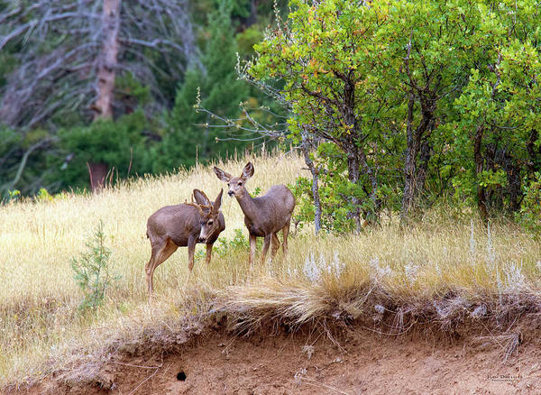 Photograph - Mule Deer by Judi Dressler