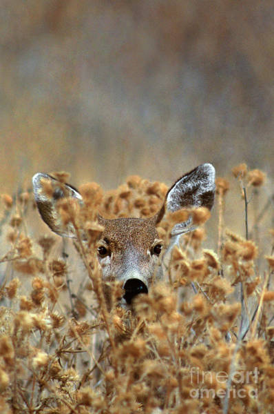 Photograph - Mule Deer Odocoileus Hemionus Wild California by Dave Welling