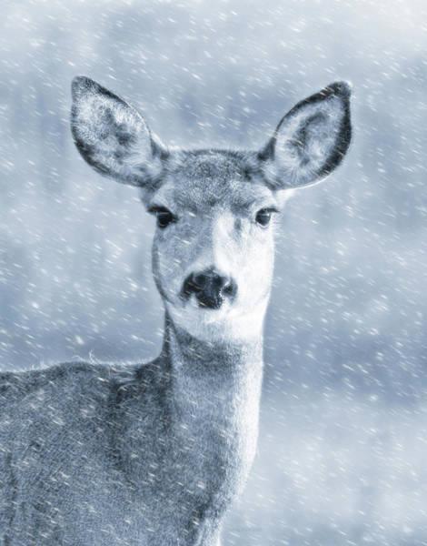 Mule Deer Photograph - Mule Deer Winter Portrait Blue by Jennie Marie Schell