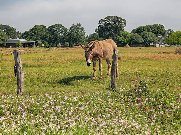 Photograph - Mule In Wildflowers by Charles McKelroy
