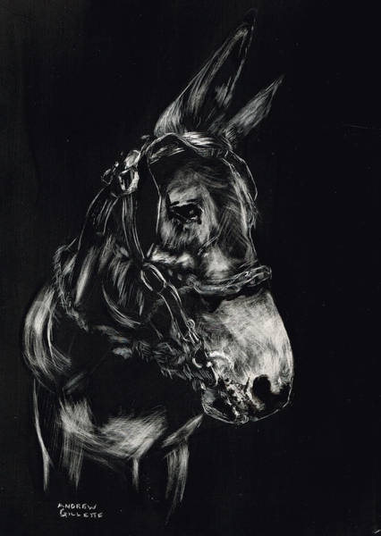 Drawing - Mule Polly In Black And White by Andrew Gillette