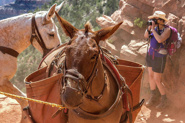 Photograph - Mule Train On The South Kaibab Trail by Pete Hendley