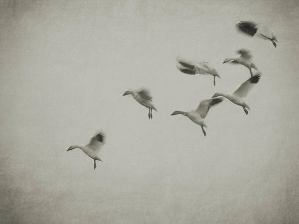 Photograph - Mulitple Geese Landing by Charles McKelroy