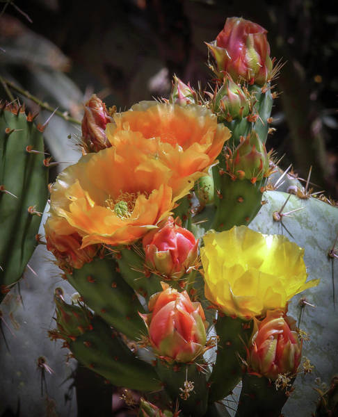 Photograph - Multi Colored Prickly Pear Cactus by Elaine Malott