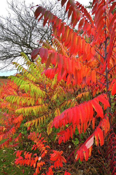 Photograph - Multicolored Sumac In Severson Dells Natural Area by Ray Mathis
