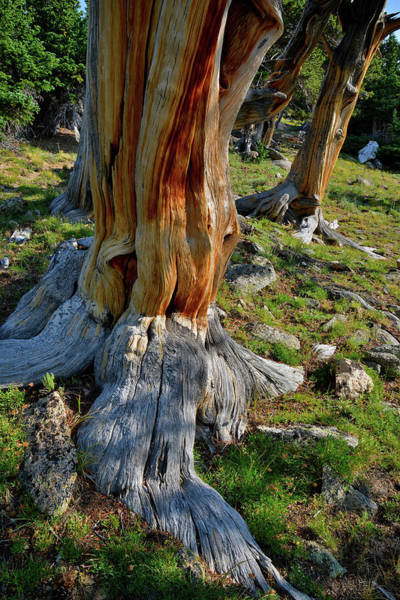 Photograph - Multiple Bristlecone Pines On Mt. Goliath by Ray Mathis
