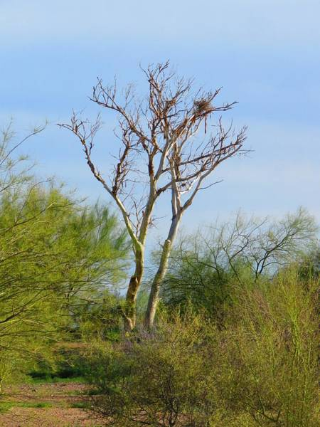 Photograph - Multiple Heron Nests 9 by Judy Kennedy