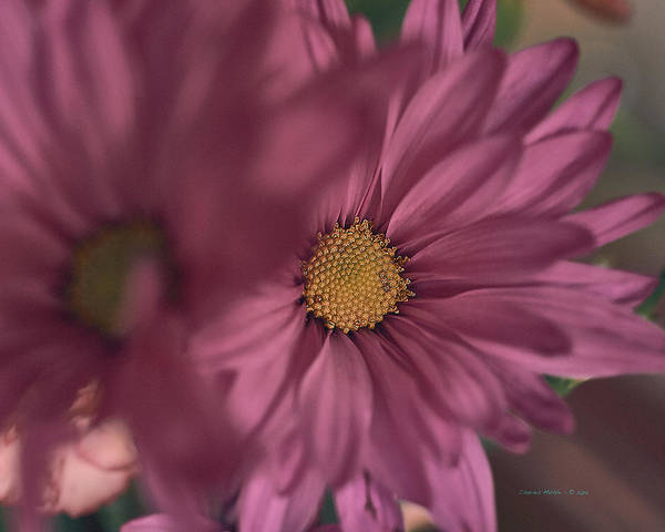 Photograph - Mums For Mum by Charles Muhle