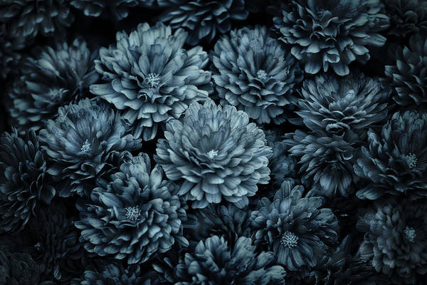 Mums Photograph - Mums In Blue by Susan Capuano